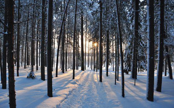 Фото бесплатно стволы деревьев, лес, зима
