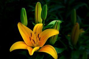 Фото бесплатно лилии, лилия, цветок
