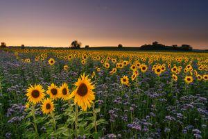 Бесплатные фото закат,поле,цветы,подсолнухи,пейзаж