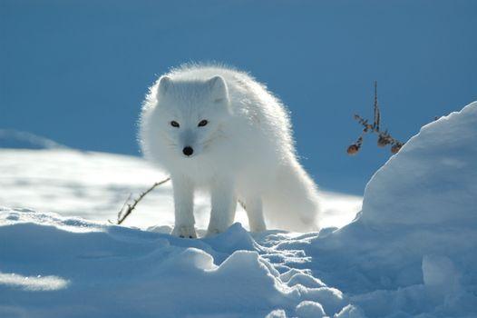 Фото бесплатно арктическая, лиса, снег