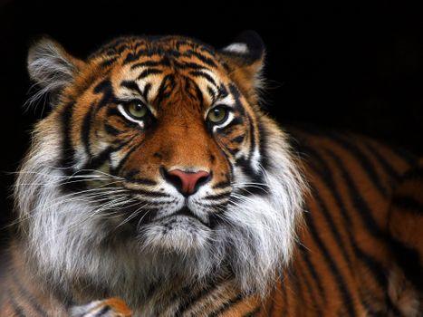 Vivid tiger · free photo