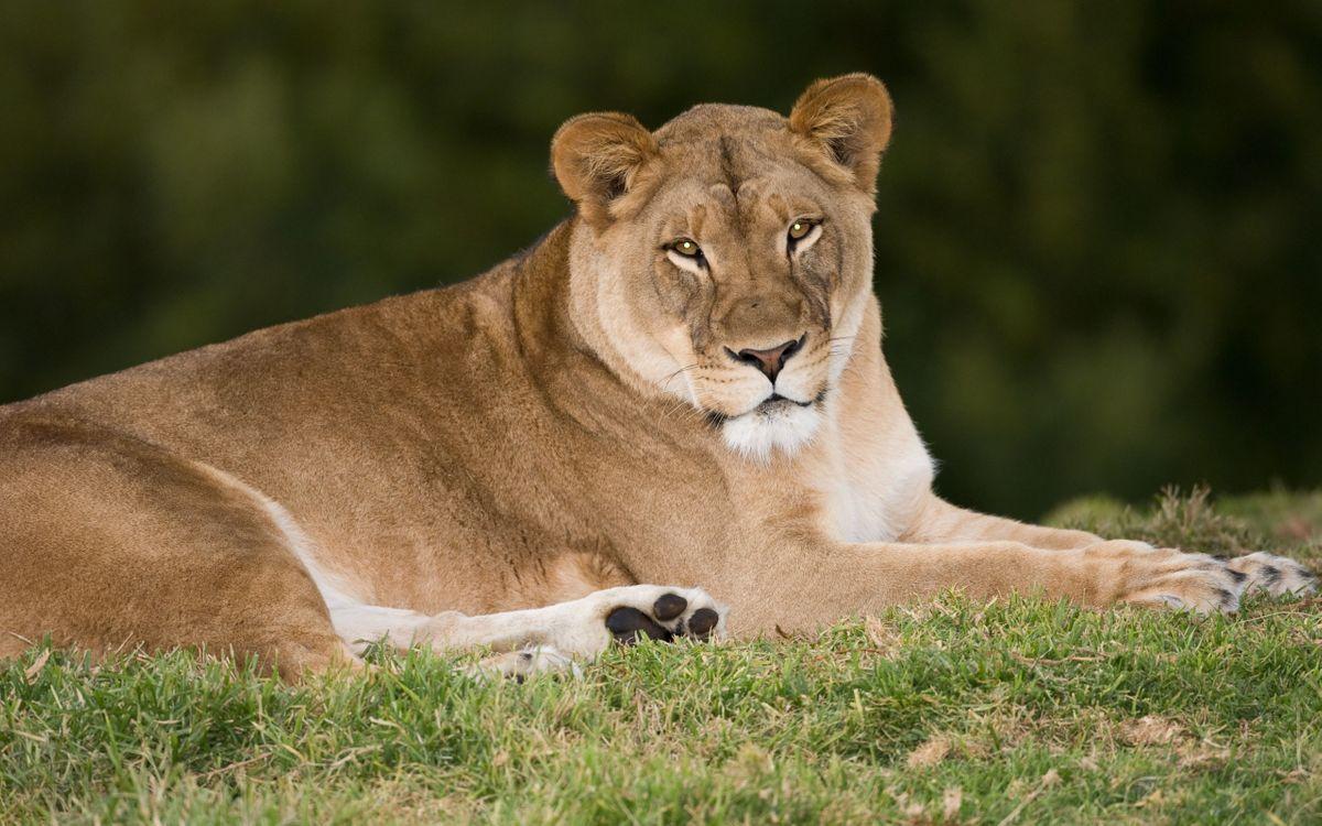 Фото бесплатно lioness, львица, взгляд - на рабочий стол