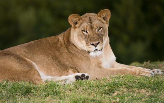 Бесплатные фото lioness,львица,взгляд