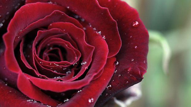 Обои роза, красная на телефон высокого качества