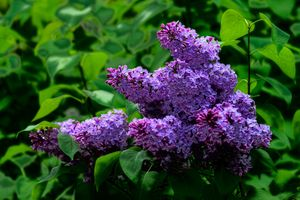 Photo free lilac, flowers, blooming lilacs