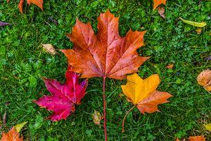 Фото бесплатно трава, кленовые листья, клевер, осень, газон, природа