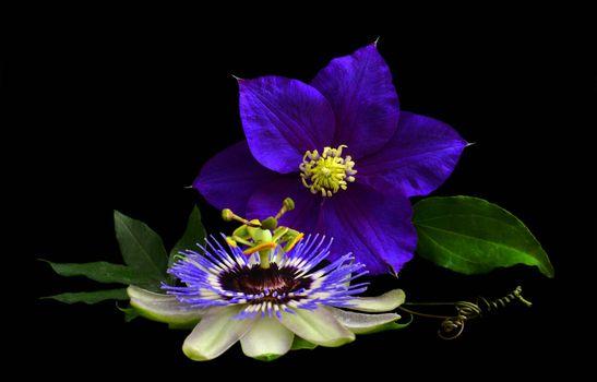 Фото бесплатно Clematis, Passion Flower, цветок