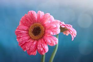 Бесплатные фото цветок,гербера,капли,флора