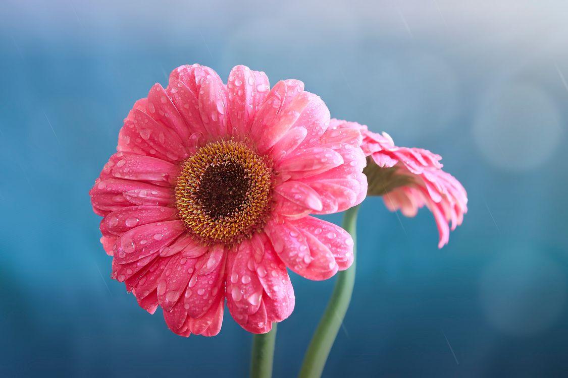 Фото бесплатно цветок, гербера, капли - на рабочий стол