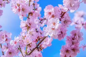 Фото бесплатно японские вишни, дерево, весна