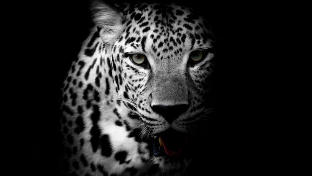 Photo free leopard, black background, night