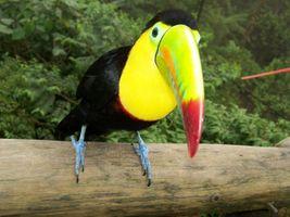 Фото бесплатно Туканы, большой клюв, желтая шея