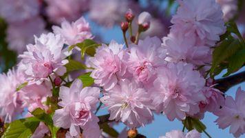 Фото бесплатно весна, цветущие ветви, вишни в цвету