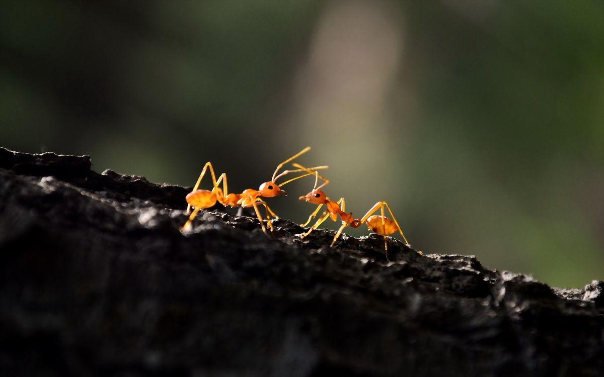 Фото бесплатно муравей, драка, лапы - на рабочий стол