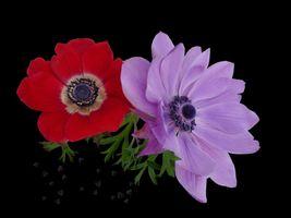 Бесплатные фото анемон,цветок,цветы,чёрный фон,флора,анемоны