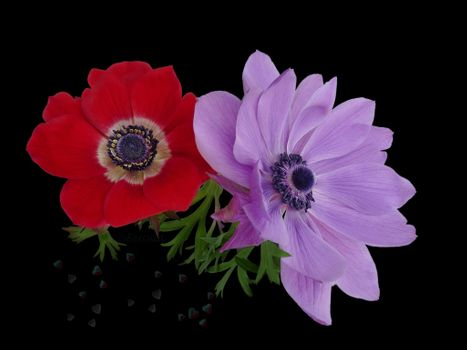 Photo free anemones, anemone, black background