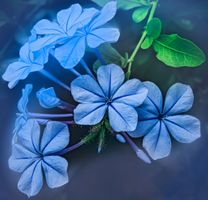 Фото бесплатно Плюмбаго, цветы, ветка