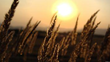 Пшеница на закате дня