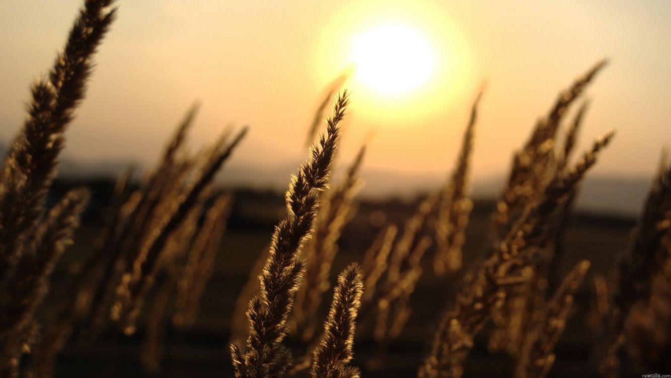 Пшеница на закате дня · бесплатное фото