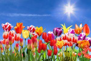 Фото бесплатно поле, цветы, тюльпаны, небо, флора