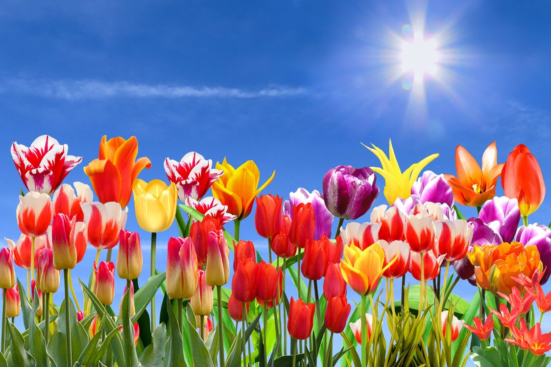 Фото бесплатно поле, цветы, тюльпаны, небо, флора, цветы