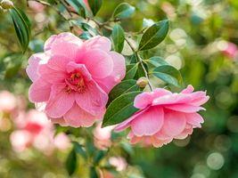 Фото бесплатно ветви, флора, цветение