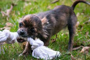 Фото бесплатно щенок, веревка, игривые