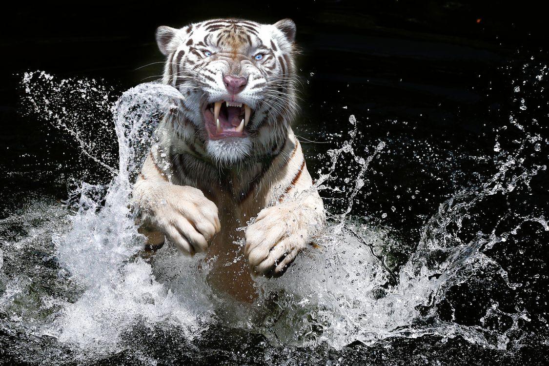 Белый тигр выпрыгивает из воды · бесплатная заставка