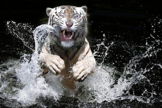 Белый тигр выпрыгивает из воды