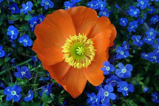 Заставки мак, цветок, цветы