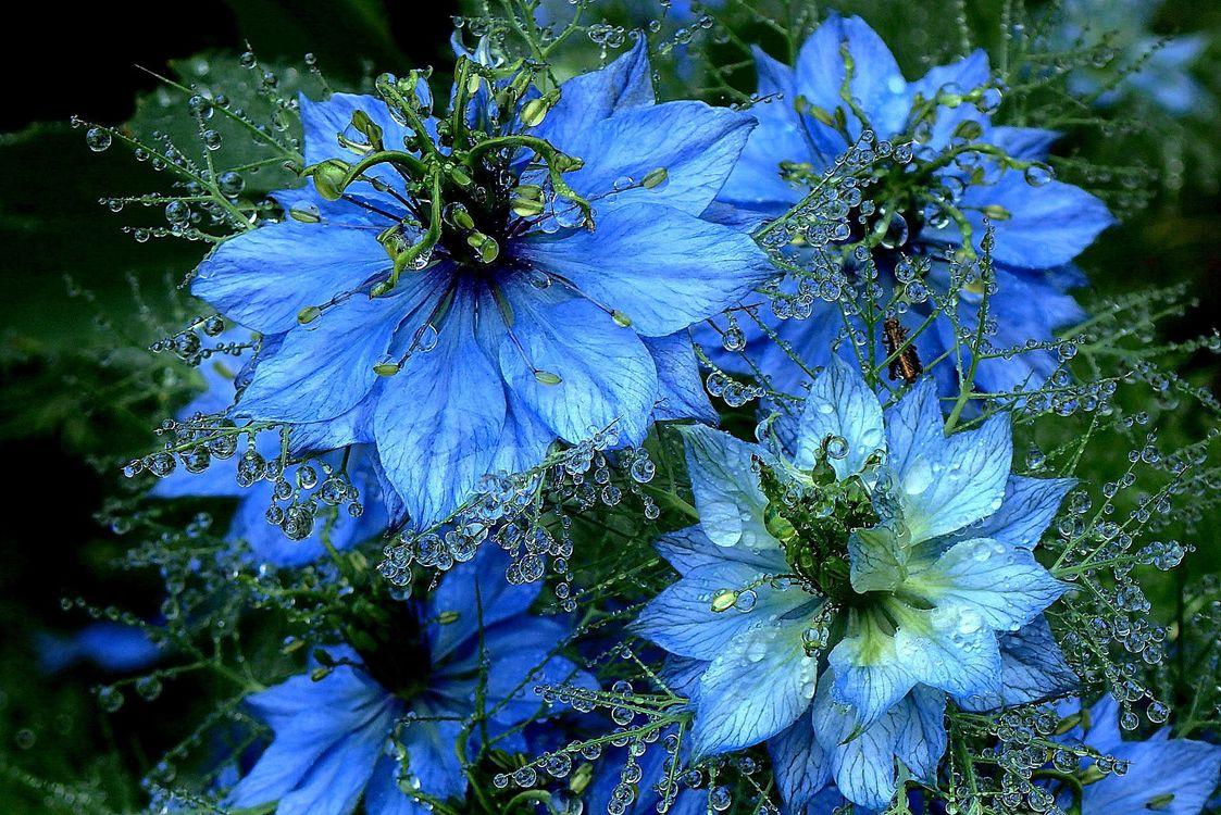 Фото бесплатно Nigella, цветы, капли - на рабочий стол
