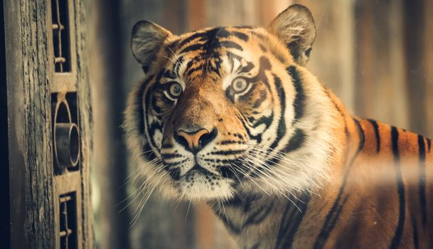 Заставки Калифорния, лицо, тигр