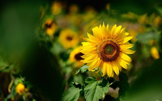 Цветок подсолнуха · бесплатное фото