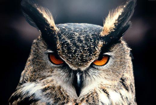 Photo free owl, closeup, eyes