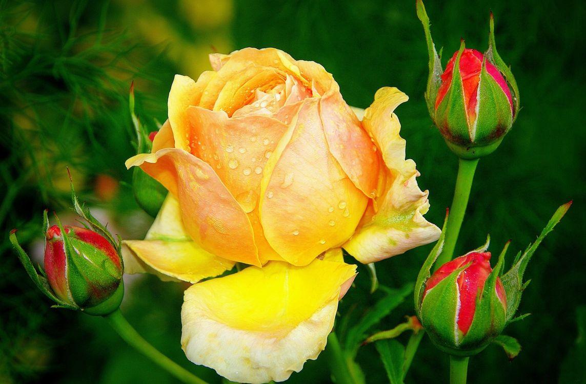 Фото бесплатно роза, цветок, бутоны - на рабочий стол