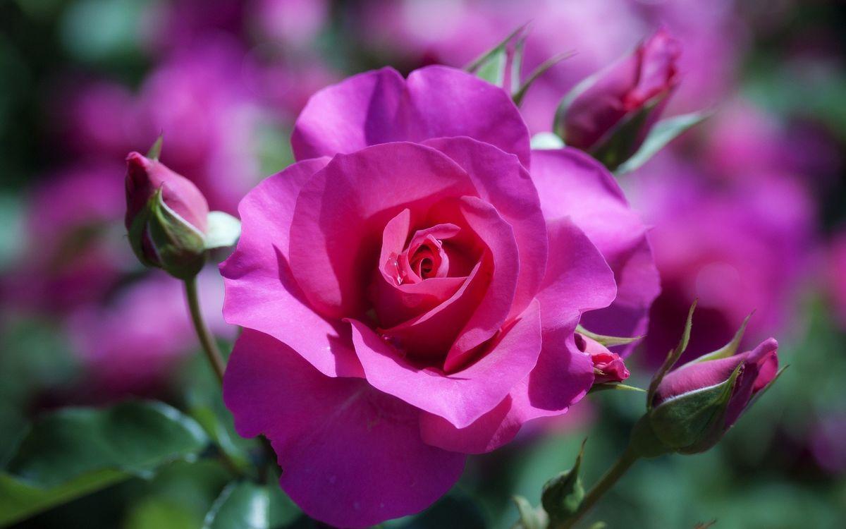 Флорибунда роза · бесплатное фото