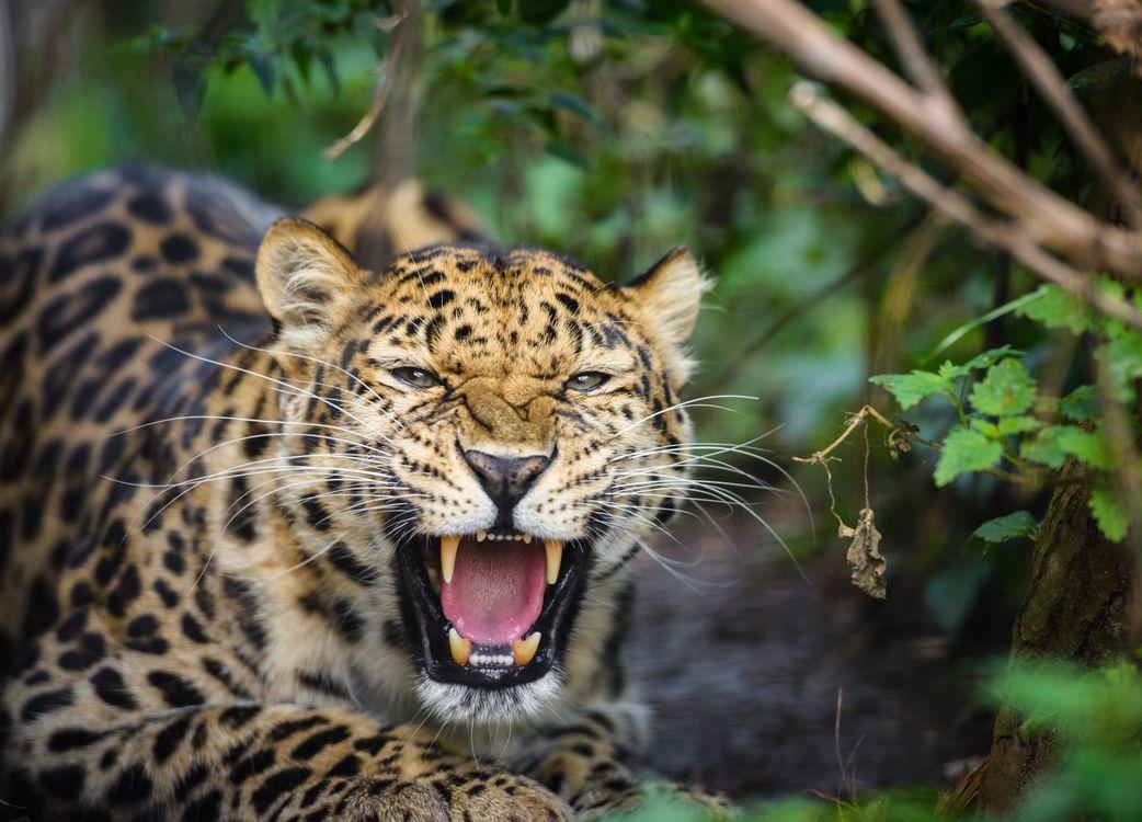 Фото бесплатно леопард, оскал, животное - на рабочий стол