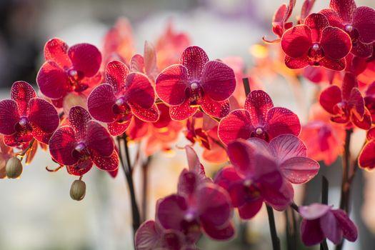 Фото бесплатно орхидеи, цветочный, красный