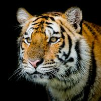 Заставки хищник, кошачье семейство, животное
