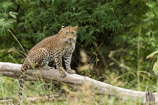 Photo free leopard, looking at the photographer, curious