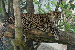леопард на дереве 2