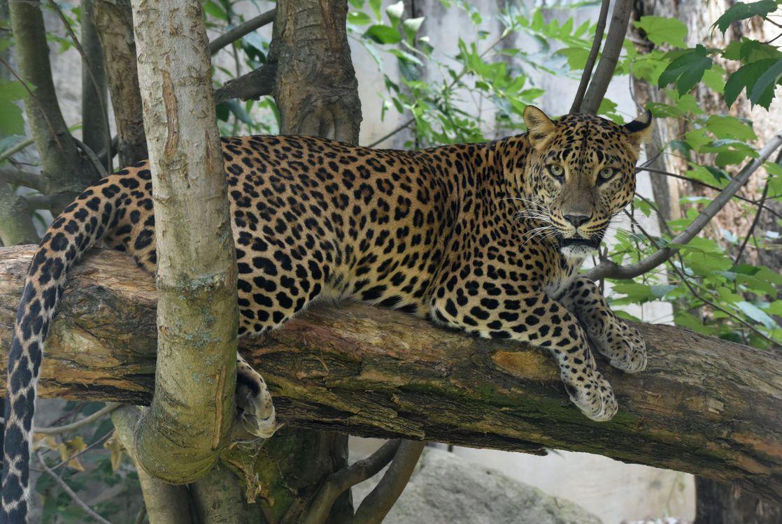 леопард на дереве 2 · бесплатное фото
