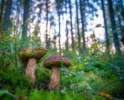Бесплатные фото грибы,боровики,бор,белые,осень,лес,деревья