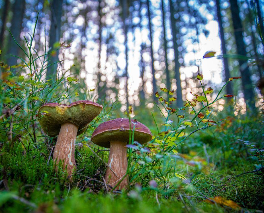 Фото бесплатно грибы, боровики, бор, белые, осень, лес, деревья, съедобный, шляпка, ножка, белый гриб, макро, природа, природа