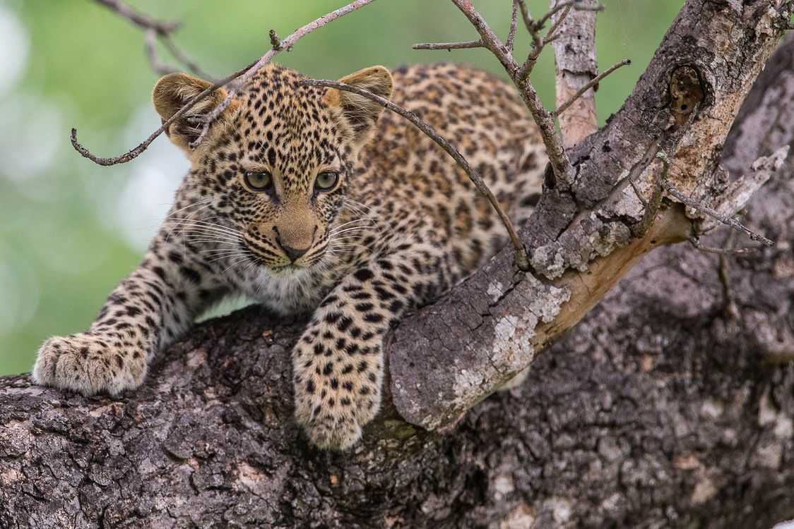 Photos for free Leopard in tree, little leopard, cub - to the desktop