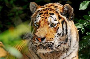 Какой то не понятный тигр, вот это удивление