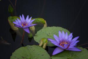 Фото бесплатно флора, листья, кувшинка