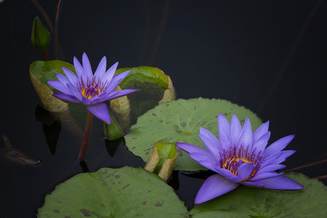 Фото бесплатно водоём, цветы, водяные лилии, водяная лилия, флора, листья, природа, цветы