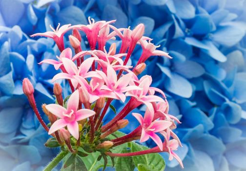 Заставки Pentas lanceolata,Star Flowers,цветы,флора