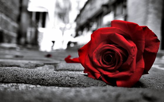 Red rose lying on the street · free photo